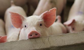 Dia do suinocultor: Castrolanda investe em tecnologia e bem-estar animal