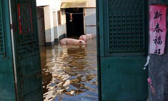 Suinocultores de subsistência na China perdem animaisem enchentes