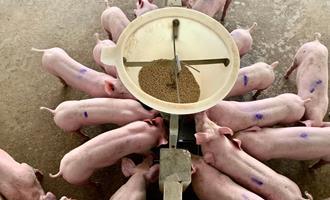 Óleos essenciais e ácidos orgânicos em rações para suínos: benefícios sobre a saúde animal e qualidade da carne