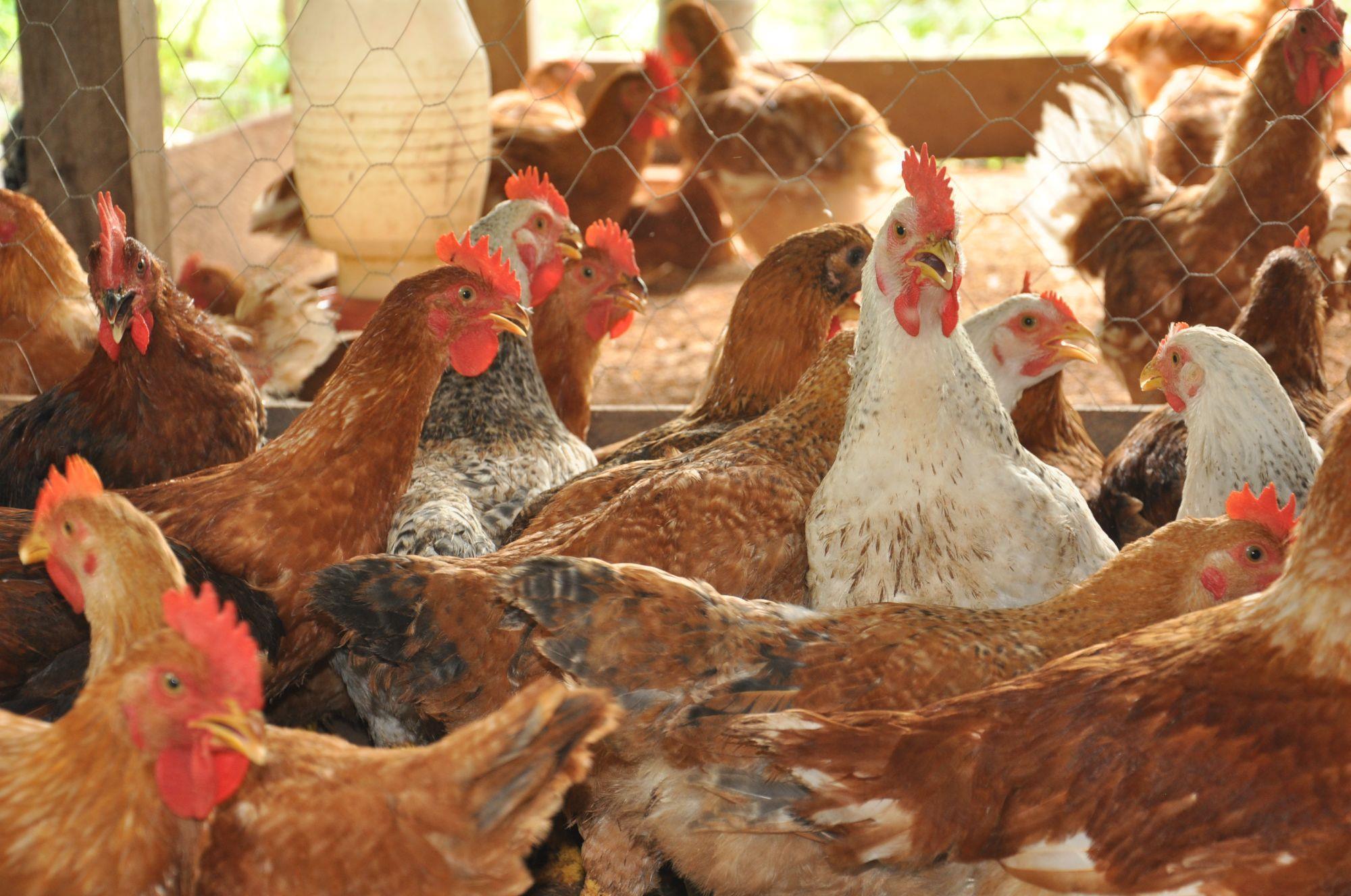 Seagro Tocantins / Fotógrafo Juliano Ribeiro, O setor avícola tocantinense segue ganhando destaques e investimentos, O setor avícola tocantinense segue ganhando destaques e investimentos