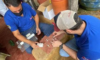 Pesquisa faz levantamento sobre peste suína clássica em municípios do oeste do Pará