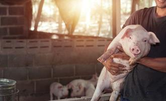 Poder de compra de suinocultores aumenta frente ao milho