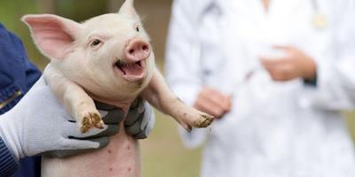 Brasil registra caso de peste suína clássica